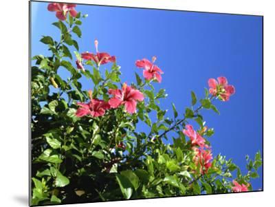 Pink Hibiscus Flowers, Bermuda, Central America-Robert Harding-Mounted Photographic Print
