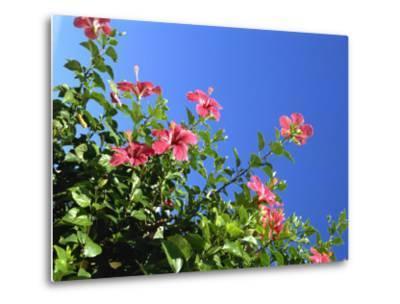 Pink Hibiscus Flowers, Bermuda, Central America-Robert Harding-Metal Print