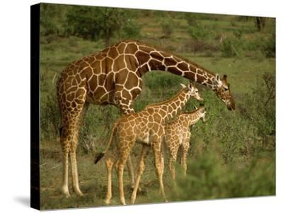Reticulated Giraffe, Samburu, Kenya, East Africa, Africa-Robert Harding-Stretched Canvas Print