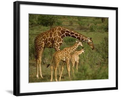Reticulated Giraffe, Samburu, Kenya, East Africa, Africa-Robert Harding-Framed Photographic Print