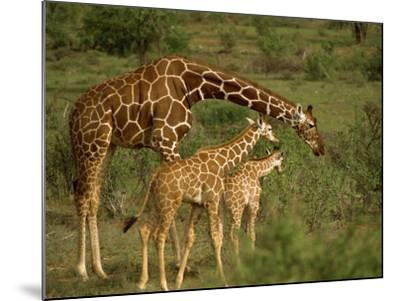 Reticulated Giraffe, Samburu, Kenya, East Africa, Africa-Robert Harding-Mounted Photographic Print