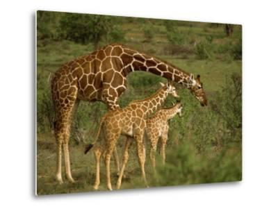 Reticulated Giraffe, Samburu, Kenya, East Africa, Africa-Robert Harding-Metal Print