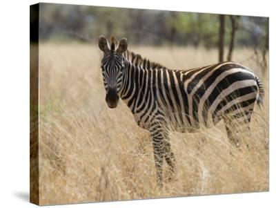 Zebra, Meru National Park, Kenya, East Africa, Africa-Pitamitz Sergio-Stretched Canvas Print