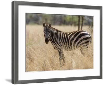Zebra, Meru National Park, Kenya, East Africa, Africa-Pitamitz Sergio-Framed Photographic Print