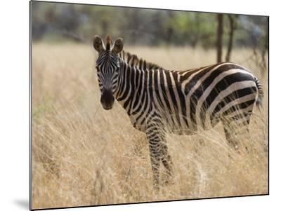 Zebra, Meru National Park, Kenya, East Africa, Africa-Pitamitz Sergio-Mounted Photographic Print