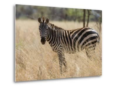 Zebra, Meru National Park, Kenya, East Africa, Africa-Pitamitz Sergio-Metal Print