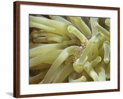 Spotted Cleaner Shrimp in Giant Anemone, Bonaire, Carribean Sea, Central America-Murray Louise-Framed Photographic Print