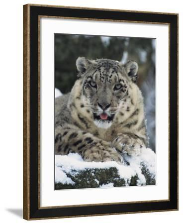 Rare and Endangered Snow Leopard, Port Lympne Zoo, Kent, England, United Kingdom-Murray Louise-Framed Photographic Print