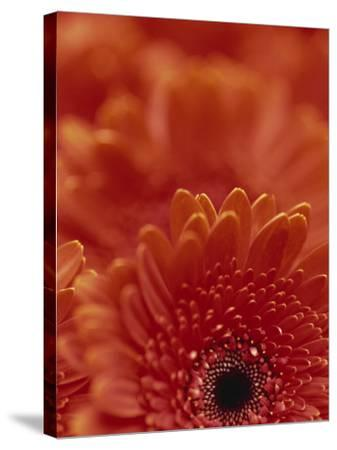 Detail of a Red Gerbera, Stacked-Murray Louise-Stretched Canvas Print