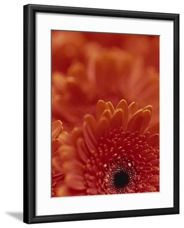 Detail of a Red Gerbera, Stacked-Murray Louise-Framed Photographic Print