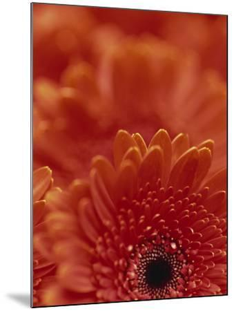 Detail of a Red Gerbera, Stacked-Murray Louise-Mounted Photographic Print