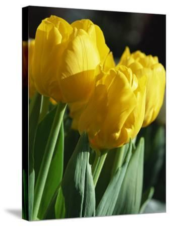 Close-Up of Yellow Tulips at Lisse, Netherlands, Europe-Murray Louise-Stretched Canvas Print