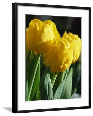 Close-Up of Yellow Tulips at Lisse, Netherlands, Europe-Murray Louise-Framed Photographic Print