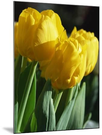 Close-Up of Yellow Tulips at Lisse, Netherlands, Europe-Murray Louise-Mounted Photographic Print