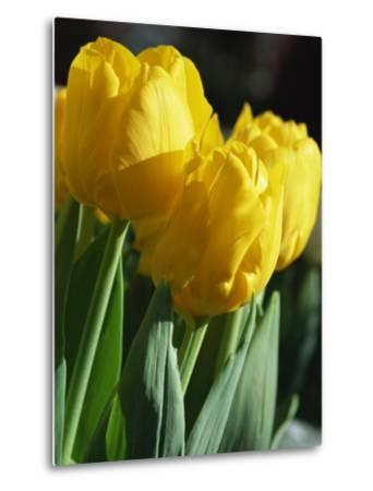 Close-Up of Yellow Tulips at Lisse, Netherlands, Europe-Murray Louise-Metal Print