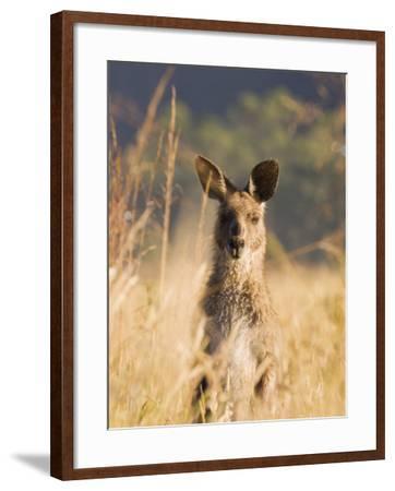 Eastern Grey Kangaroo, Geehi, Kosciuszko National Park, New South Wales, Australia, Pacific-Schlenker Jochen-Framed Photographic Print