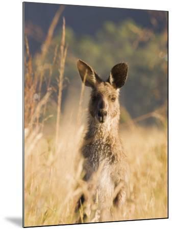 Eastern Grey Kangaroo, Geehi, Kosciuszko National Park, New South Wales, Australia, Pacific-Schlenker Jochen-Mounted Photographic Print