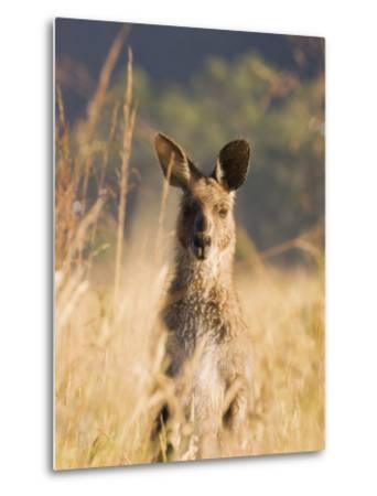 Eastern Grey Kangaroo, Geehi, Kosciuszko National Park, New South Wales, Australia, Pacific-Schlenker Jochen-Metal Print