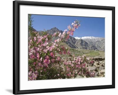 Wild Rose Shrub in Blossom with Mountains Beyond, Spiti Valley, Spiti, Himachal Pradesh, India-Simanor Eitan-Framed Photographic Print