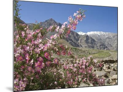 Wild Rose Shrub in Blossom with Mountains Beyond, Spiti Valley, Spiti, Himachal Pradesh, India-Simanor Eitan-Mounted Photographic Print