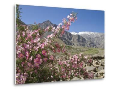 Wild Rose Shrub in Blossom with Mountains Beyond, Spiti Valley, Spiti, Himachal Pradesh, India-Simanor Eitan-Metal Print