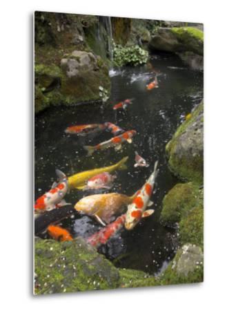 Colourful Carp in Typical Japanese Garden Pond, Higashiyama, Kyoto, Kansai, Honshu, Japan-Simanor Eitan-Metal Print