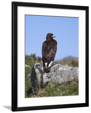 Golden Eagle, on Moorland, Captive, United Kingdom, Europe-Toon Ann & Steve-Framed Photographic Print