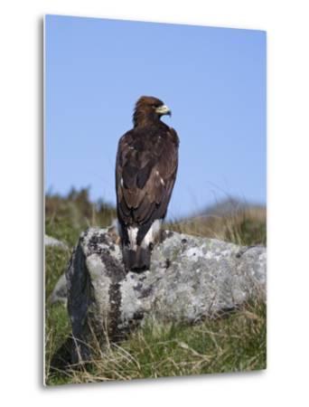 Golden Eagle, on Moorland, Captive, United Kingdom, Europe-Toon Ann & Steve-Metal Print