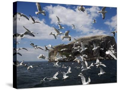 Herring Gulls, Following Fishing Boat with Bass Rock Behind, Firth of Forth, Scotland, UK-Toon Ann & Steve-Stretched Canvas Print