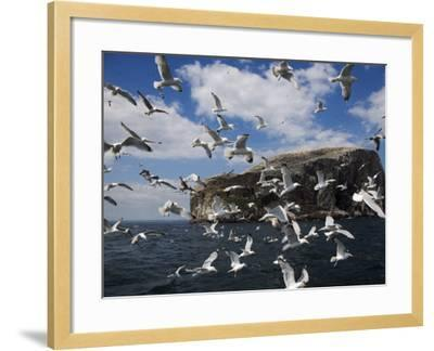 Herring Gulls, Following Fishing Boat with Bass Rock Behind, Firth of Forth, Scotland, UK-Toon Ann & Steve-Framed Photographic Print