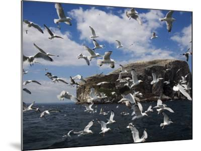 Herring Gulls, Following Fishing Boat with Bass Rock Behind, Firth of Forth, Scotland, UK-Toon Ann & Steve-Mounted Photographic Print