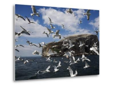 Herring Gulls, Following Fishing Boat with Bass Rock Behind, Firth of Forth, Scotland, UK-Toon Ann & Steve-Metal Print
