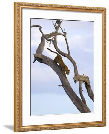 Leopard in Dead Tree, Kruger National Park, Mpumalanga, South Africa, Africa-Toon Ann & Steve-Framed Photographic Print