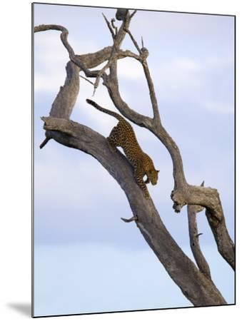 Leopard in Dead Tree, Kruger National Park, Mpumalanga, South Africa, Africa-Toon Ann & Steve-Mounted Photographic Print
