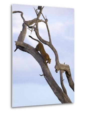 Leopard in Dead Tree, Kruger National Park, Mpumalanga, South Africa, Africa-Toon Ann & Steve-Metal Print