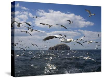 Gannets in Flight, Following Fishing Boat Off Bass Rock, Firth of Forth, Scotland-Toon Ann & Steve-Stretched Canvas Print