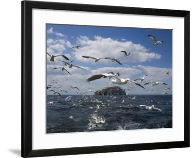 Gannets in Flight, Following Fishing Boat Off Bass Rock, Firth of Forth, Scotland-Toon Ann & Steve-Framed Photographic Print