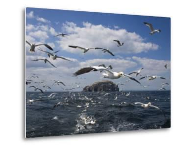 Gannets in Flight, Following Fishing Boat Off Bass Rock, Firth of Forth, Scotland-Toon Ann & Steve-Metal Print