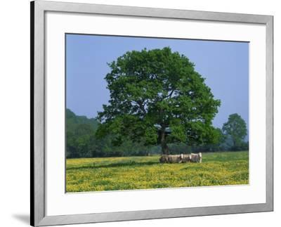 Agricultural Landscape of Cows Beneath an Oak Tree in a Field of Buttercups in England, UK--Framed Photographic Print