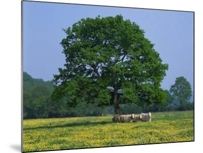 Agricultural Landscape of Cows Beneath an Oak Tree in a Field of Buttercups in England, UK--Mounted Photographic Print