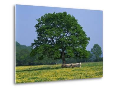 Agricultural Landscape of Cows Beneath an Oak Tree in a Field of Buttercups in England, UK--Metal Print