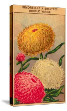 French Dahlia Seed Packet--Stretched Canvas Print