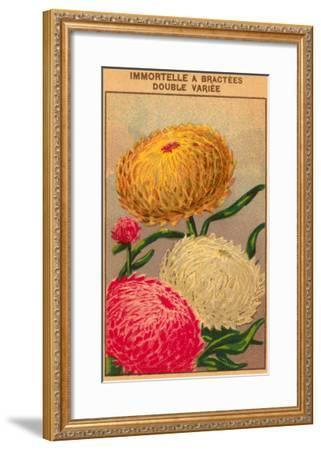 French Dahlia Seed Packet--Framed Art Print