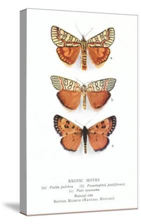 Exotic Moths--Stretched Canvas Print
