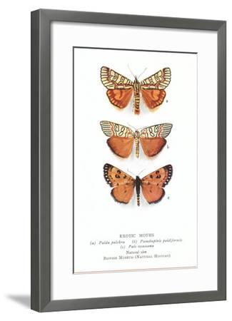 Exotic Moths--Framed Art Print