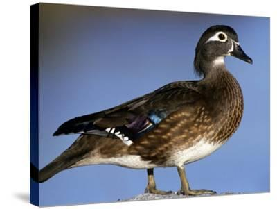 Female Wood Duck-Michael DeFreitas-Stretched Canvas Print