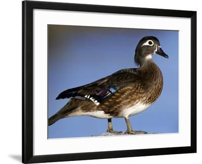 Female Wood Duck-Michael DeFreitas-Framed Photographic Print