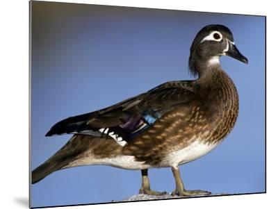 Female Wood Duck-Michael DeFreitas-Mounted Photographic Print