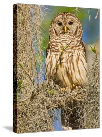 Barred Owl perched in cypress tree, Texas, USA-Larry Ditto-Stretched Canvas Print