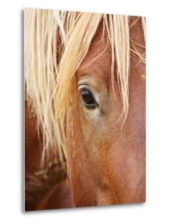 Feral Horse colt running in the high sagebrush, Cody, Wyoming, USA-Larry Ditto-Metal Print